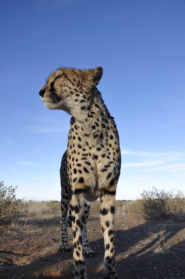 Djurliv-skydd: En Jeetha i den namibian Kalaharien; arkivfoton