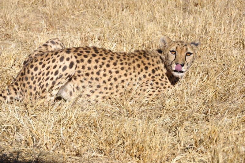 Djurliv-skydd: En Jeetha i den namibian Kalaharien royaltyfri foto