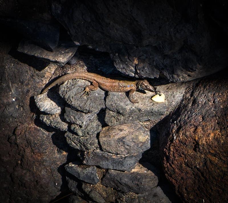 Djurlivet av ön av La Palma Skönheten av en ödla från Santa Cruz de la Palma kanariefågelöar tenerife spain arkivfoto