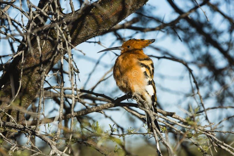 Djurlivet av den centrala Kalahari lekreserven royaltyfria foton