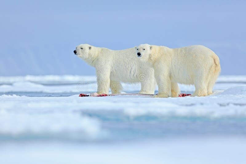 Djurlivplats från den arktiska naturen med stor isbjörn två Par av isbjörnar som river det jagade blodiga skyddsremsaskelettet i  arkivfoto