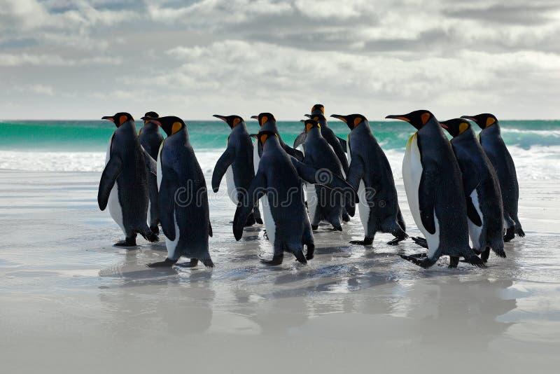 Djurlivplats från den lösa naturen Grupp av konungpingvin, Aptenodytespatagonicus som går från vit sand till havet, artic djur i  royaltyfri bild