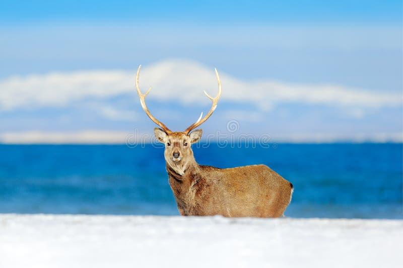 Djurlivplats från den snöig naturen Hokkaido sikahjortar, Cervusnippon yesoensis, i kusten med mörkt - blått hav, vinterberg royaltyfria foton