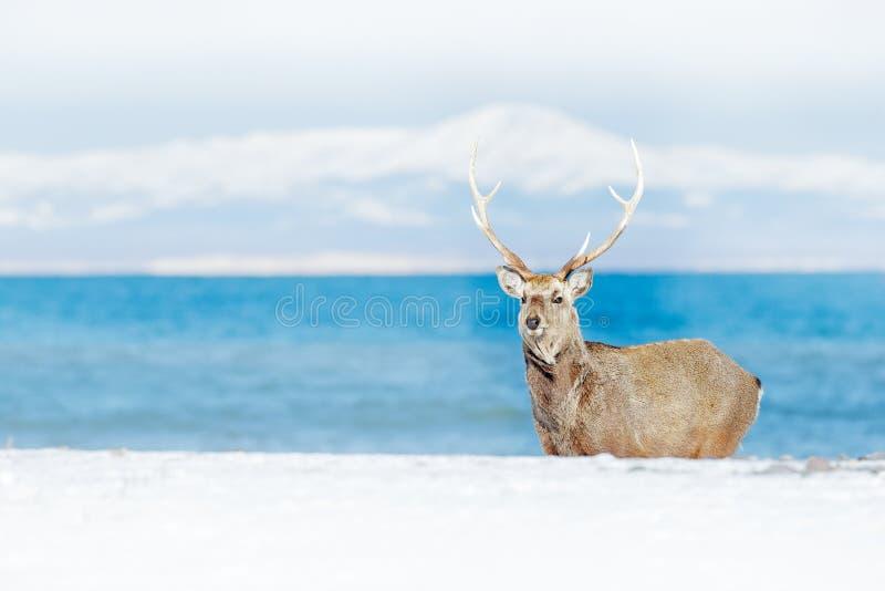 Djurlivplats från den snöig naturen Hokkaido sikahjortar, Cervusnippon yesoensis, i kusten med mörkt - blått hav, vinterberg royaltyfri fotografi