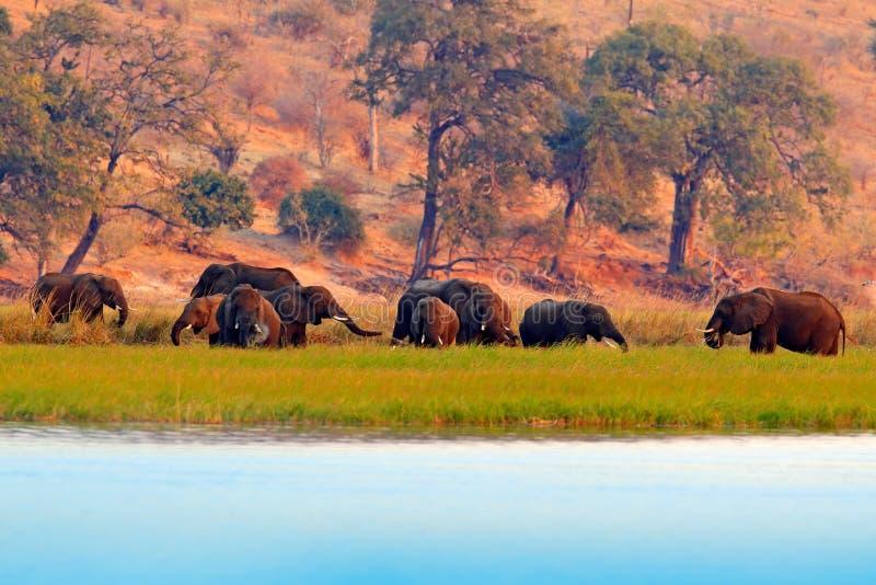 Djurlivplats från naturen Sjö med stora djur En flock av afrikanska elefanter som dricker från floden som lyfter deras stammar, C arkivbilder