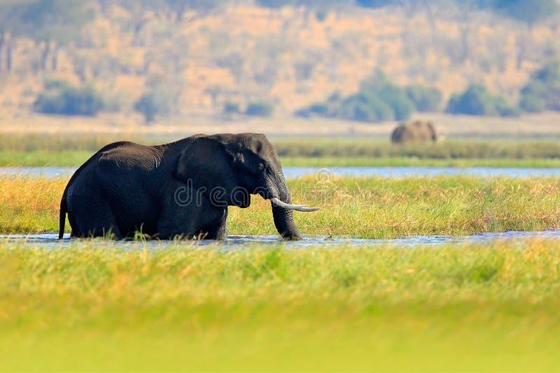 Djurlivplats från naturen Sjö med stora djur Vattengräs i den stora floden En flock av afrikanska elefanter som dricker på en wat arkivbild