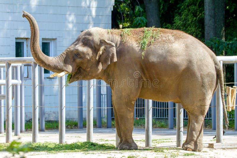 Djurt ätagräs för stor elefant på zoo royaltyfria bilder