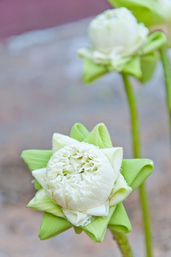 Dla cześć skomplikowany biały lotos Buddha obraz royalty free