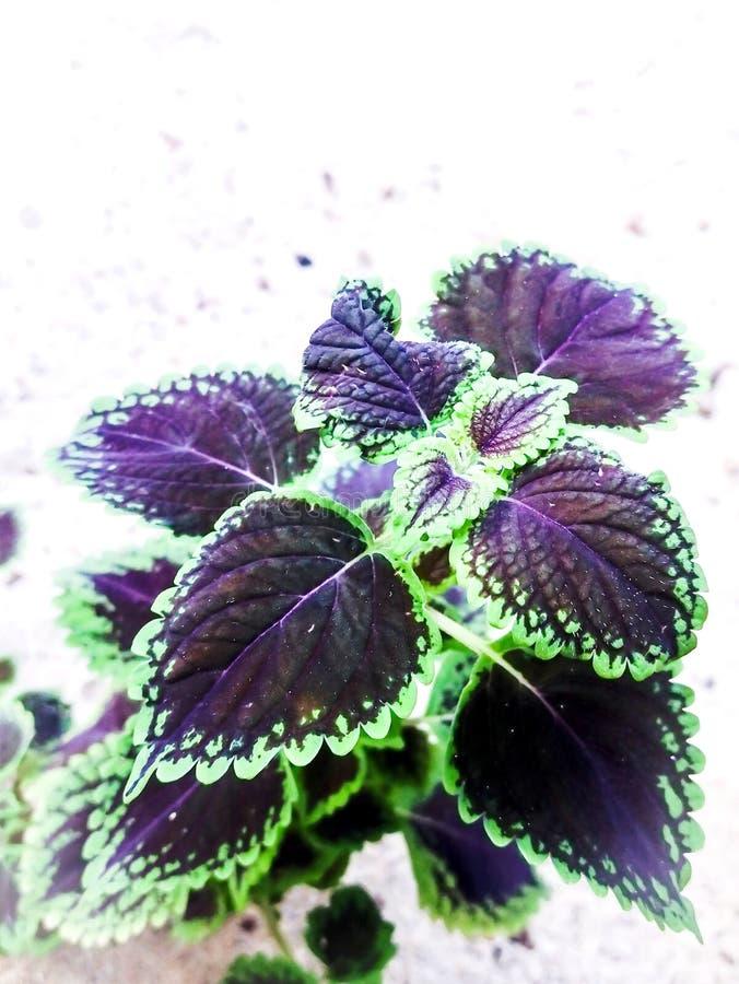 Dlaczego używać coleus rośliny pragnąć ilustracji