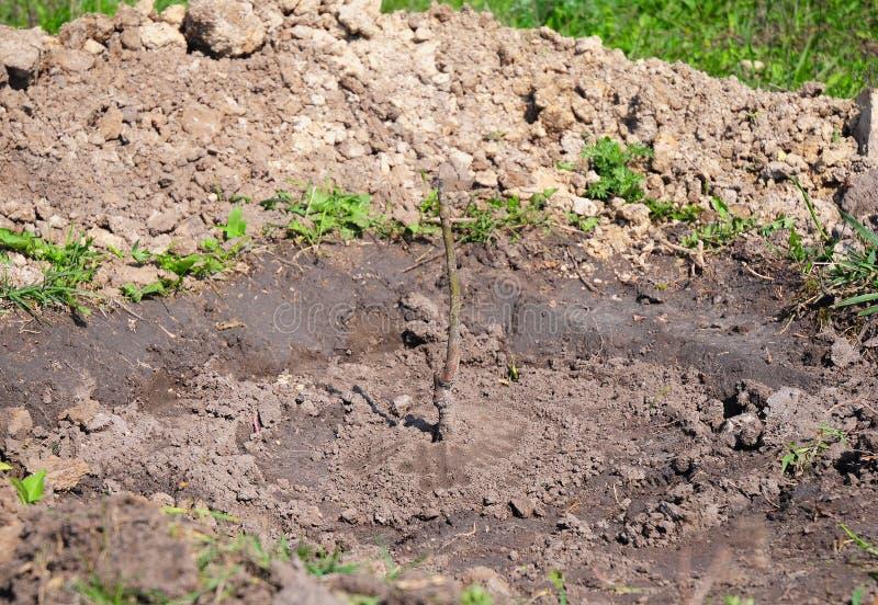 Dlaczego Zasadzać Przeszczepiającego Sapling orzecha włoskiego drzewa Tutorial, krok po kroku R Twój orzecha włoskiego drzewa Pop zdjęcie stock