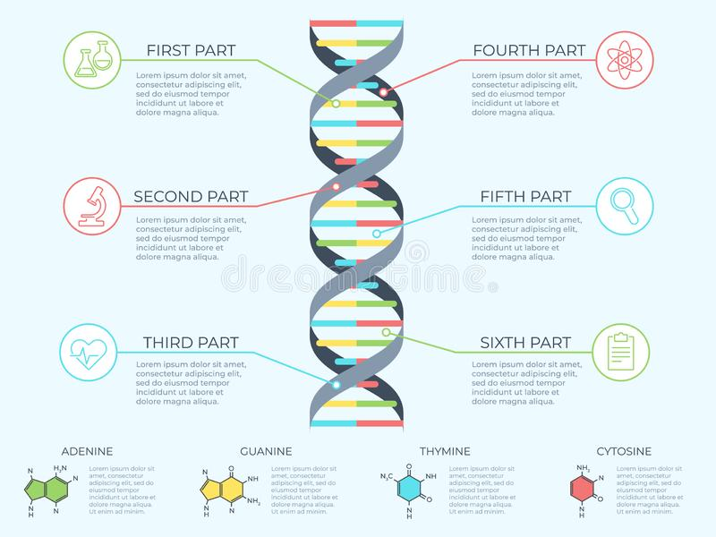 DNA infographic. Genetic spiral, genomic model molecule diagram and adn pattern structure chart vector concept. DNA infographic. Genetic spiral, genomic model stock illustration