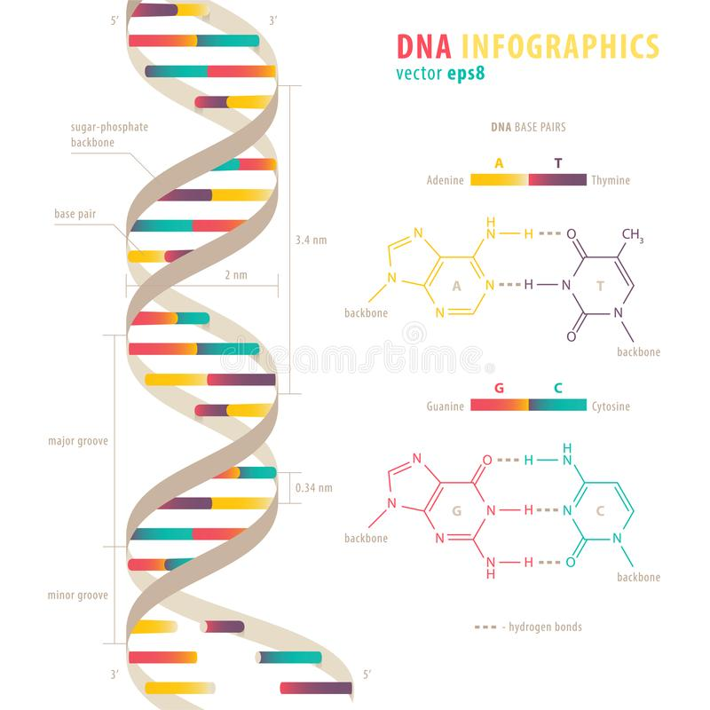DNA infographics. DNA structure, colorful infograhic chart stock illustration