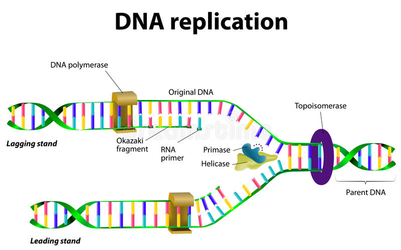 DNA-replicatie vector illustratie