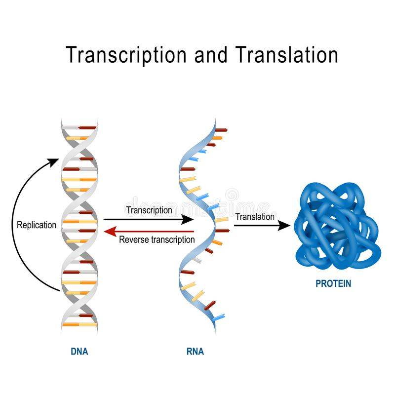 DNA-Replicatie, Eiwitsynthese, Transcriptie en translatio royalty-vrije illustratie
