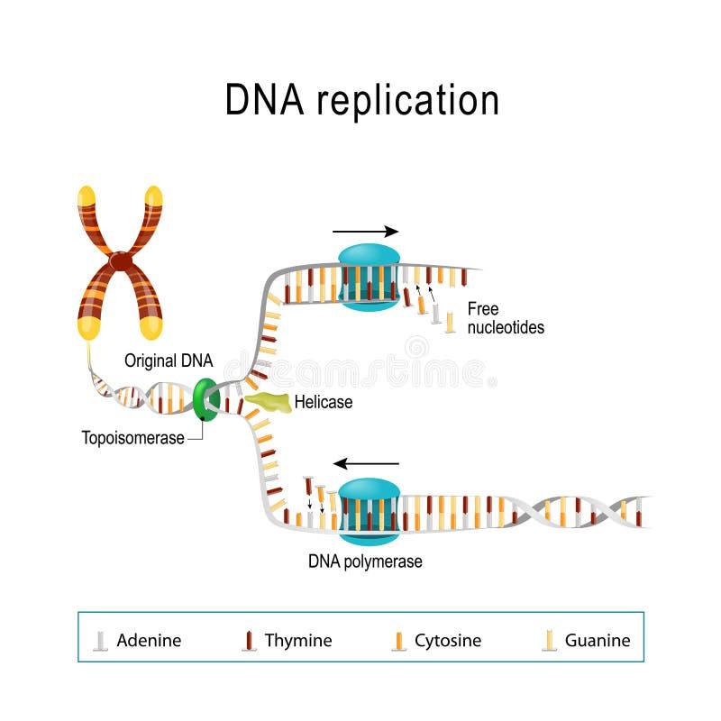 DNA-replicatie Vectordiagram voor wetenschappelijk gebruik stock illustratie