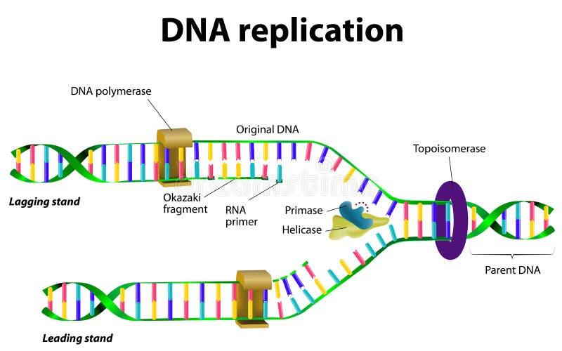 DNA-Reproduktion vektor abbildung