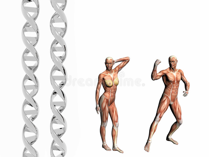 DNA strand, muscular man. Two dna strands, muscular anatomical correct male, female model. Muscles as layer map on body. Evolution concept stock illustration