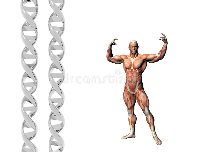 DNA strand, muscular man. Two dna strands, muscular anatomical correct male model. Muscles as layer map on body. Evolution concept royalty free illustration