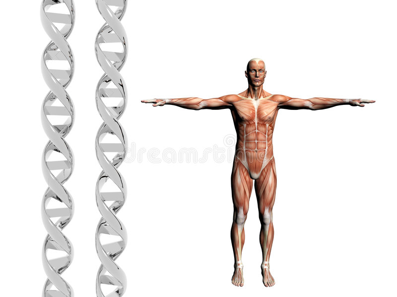 DNA strand, muscular man. Two dna strands, muscular anatomical correct male model. Muscles as layer map on body. Evolution concept vector illustration