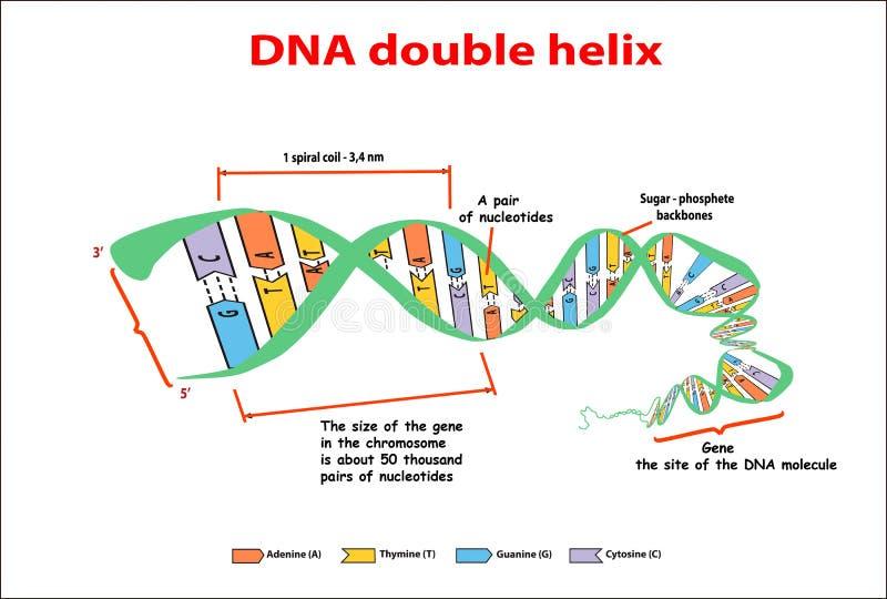 DNA-structuur dubbele schroef op witte achtergrond Nucleotide, Fosfaat, Suiker, en basissen Grafische onderwijs vectorinformatie  vector illustratie