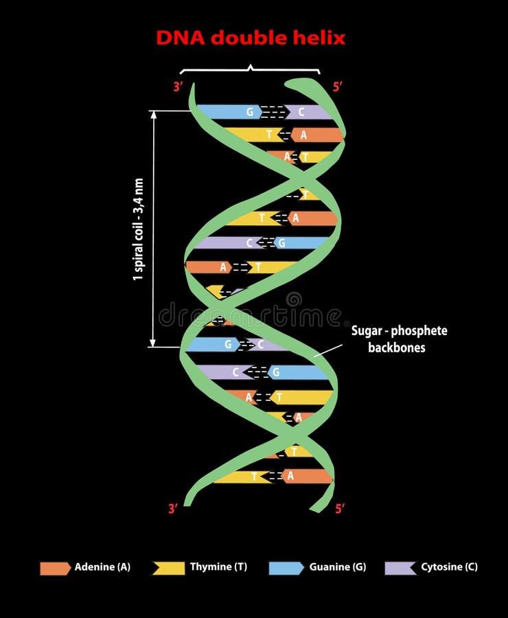 DNA-structuur dubbele schroef op zwarte Nucleotide, Fosfaat, Suiker, en basissen Grafische onderwijsinformatie Adenine, Thymine,  vector illustratie