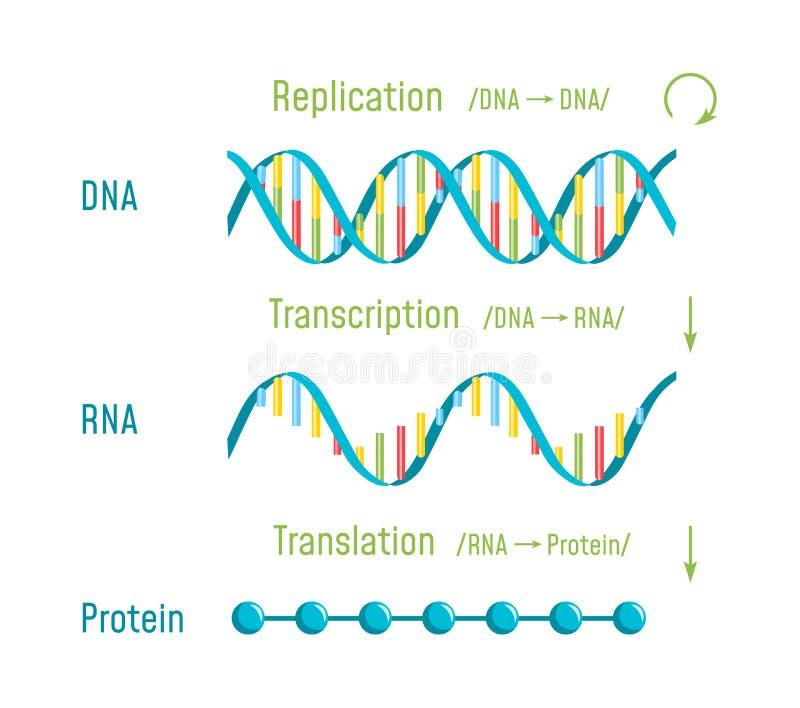 DNAreplikation, transkription och översättning royaltyfri illustrationer