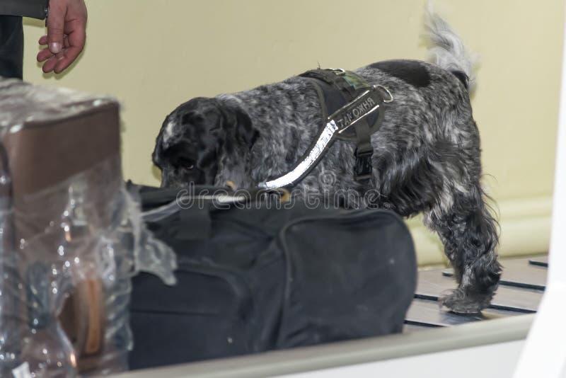 DNEPR, ΟΥΚΡΑΝΙΑ - ΧΕΙΜΩΝΑΣ, 2019: Διεθνής αερολιμένας Έλεγχος των ταξιδιωτικών αποσκευών Sniffs εκπαιδευμένα σκυλιών σπανιέλ στοκ εικόνα με δικαίωμα ελεύθερης χρήσης