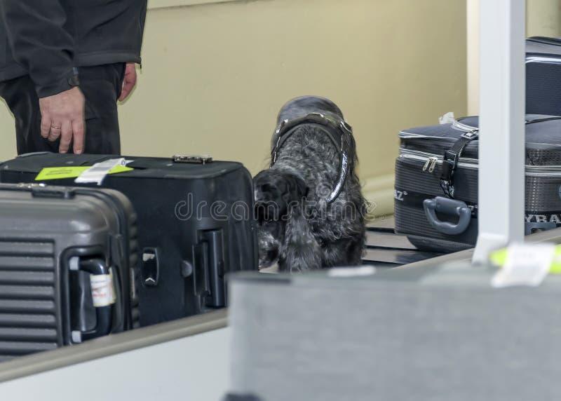 DNEPR UKRAINA - VINTER, 2019: Internationell flygplats Kontroll för flygsäkerhet En utbildad hundspaniel som sniffar resväskor arkivfoto