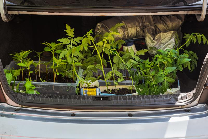 Tomato seedlings in trunk. Dnepr, Ukraine- May 04, 2019: Thin tomato sprouts with green leaves in car trunk royalty free stock photos