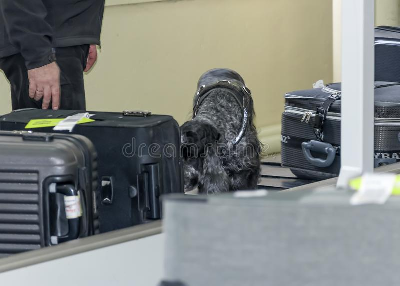 DNEPR, UKRAINE - WINTER, 2019: International Airport. Flight safety control. A trained dog spaniel sniffing suitcases. And bags on a baggage carousel or stock photo