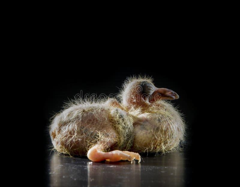 5 dni dzieci gołębi ptasi lying on the beach na czarnym tle obraz stock