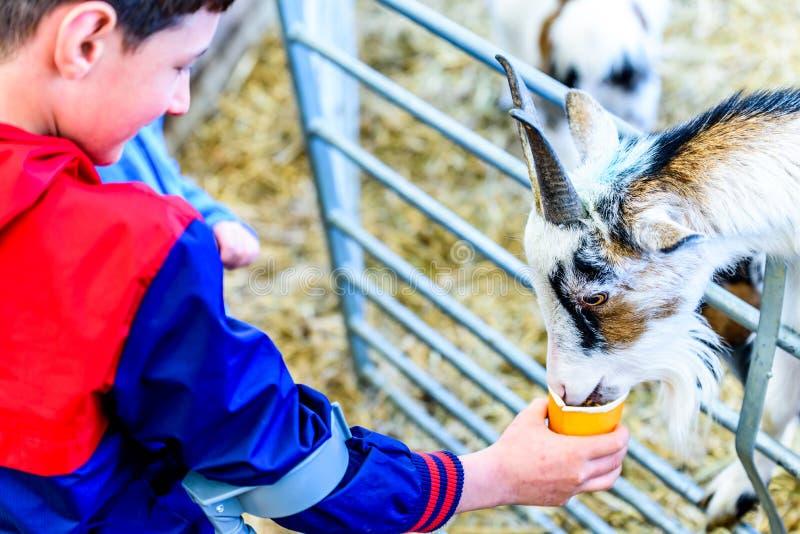 Dnia widok obezwładniał chłopiec karmi kózki na szczudłach fotografia royalty free