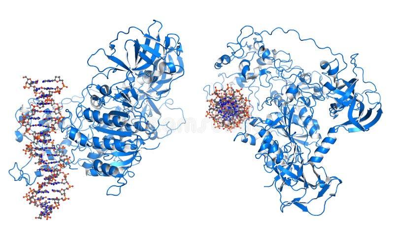 Methyltransferase de la DNA libre illustration