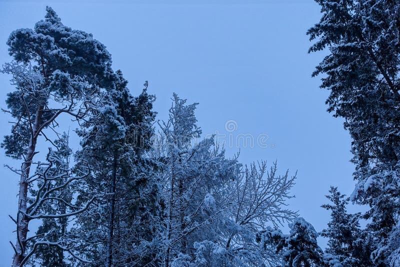 Dno odgórny widok sosna wierzchołki które są śnieżyści obraz stock