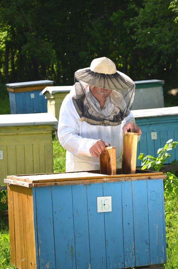 Doświadczonego starszego pszczelarki kładzenia honeycomb puste ramy w ul w jego pasiece zdjęcie royalty free