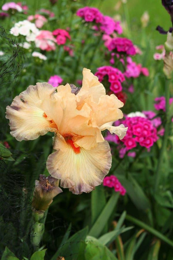 Do ` belga da princesa do ` a íris farpada reina sobre o jardim da mola foto de stock