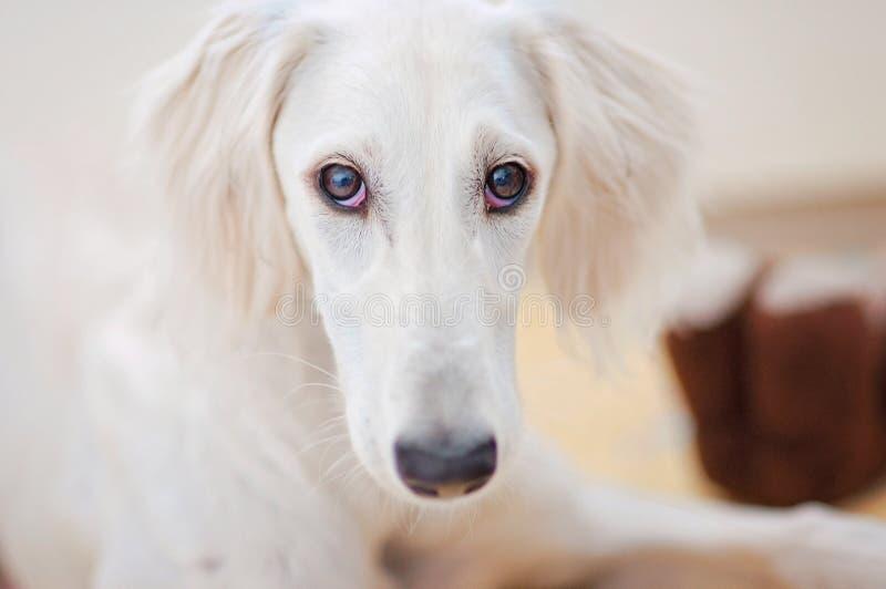 Do cachorrinho branco bonito pequeno do saluki do alerta um galgo persa é relaxado e olhando fixamente à câmera fotografia de stock royalty free
