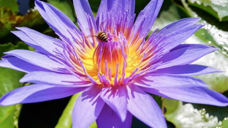 Do close-up da água anexo roxo da flor e da abelha lilly fotografia de stock