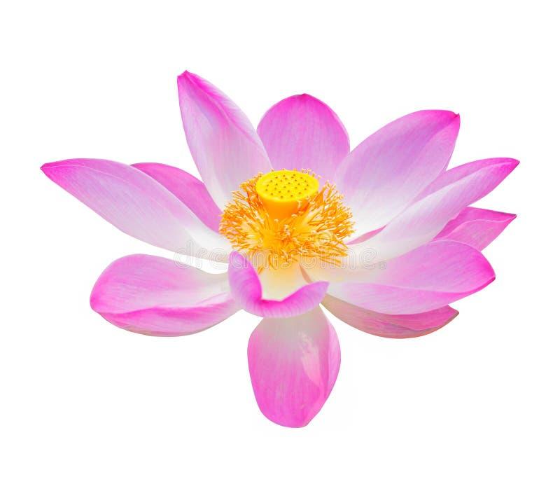 Do close-up do rosa flor waterlily na manhã fotos de stock