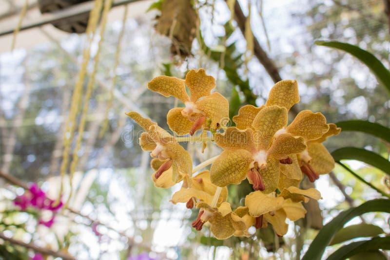 Do dendrobium amarelo do Phalaenopsis ou da traça do close-up flor da orquídea imagem de stock royalty free