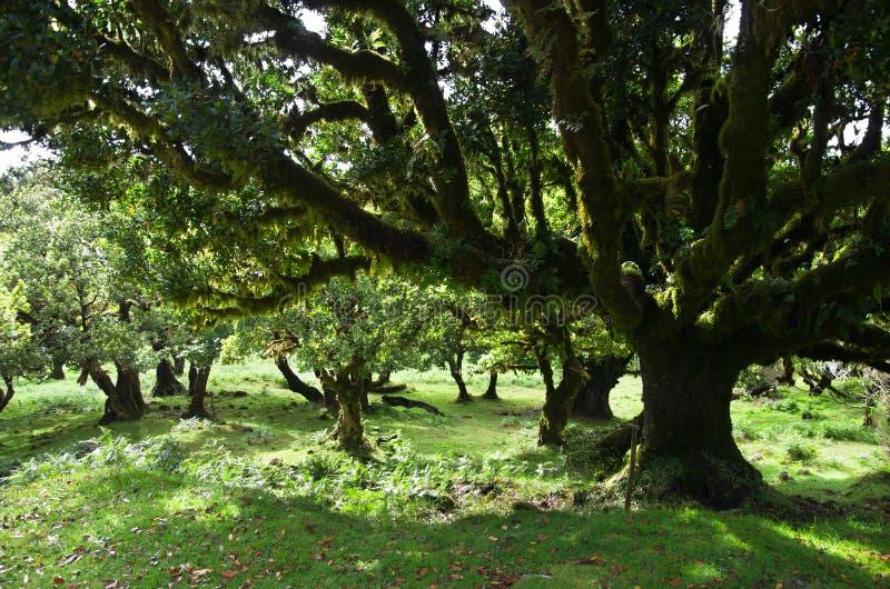 Do drzew 500 sto lat, madera obrazy stock