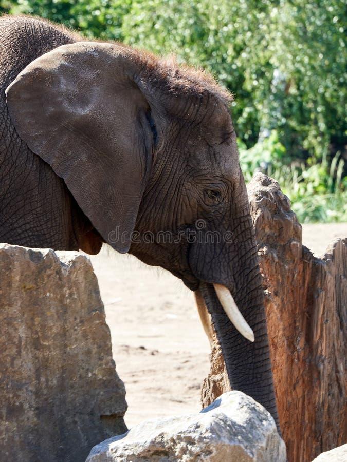Do elefante fim acima por rochas imagem de stock royalty free