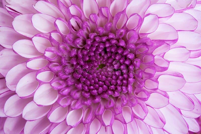Do fim centro acima - da flor violeta fotos de stock royalty free