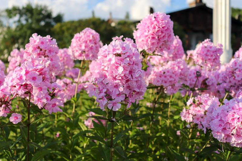 Do flox do paniculata cor cor-de-rosa bonita delicadamente Close up de uma flor roxa com folhas verdes imagens de stock royalty free