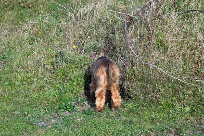 Do inglês de cocker spaniel do cachorrinho da cabeça furo de coelho para baixo foto de stock royalty free