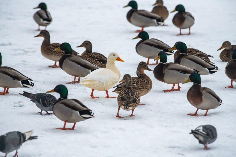 Do inverno raro branco do mutante do pato selvagem do pato selvagem cor genética da mutação fotografia de stock royalty free