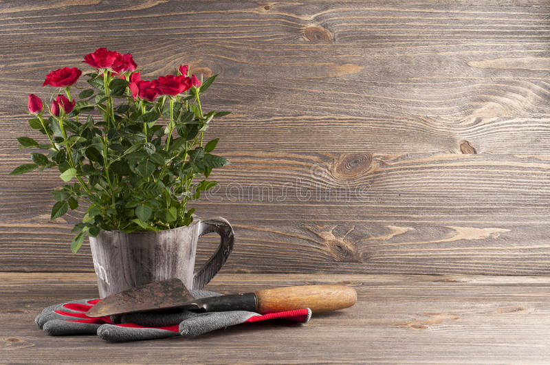 Do jardim do conceito vida ainda com rosas, luvas e trow do jardineiro fotografia de stock