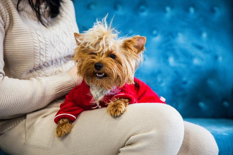 Do Natal azul tiffany do ano novo do animal de estimação do cão da cor de turquesa do sofá da sessão de foto brinquedo vermelho d imagens de stock