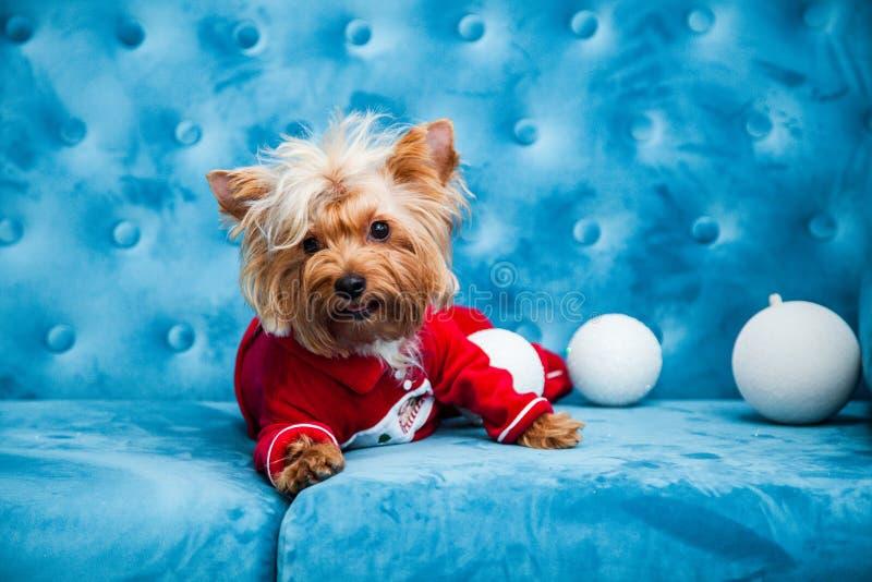 Do Natal azul tiffany do ano novo do animal de estimação do cão da cor de turquesa do sofá da sessão de foto brinquedo vermelho d imagem de stock