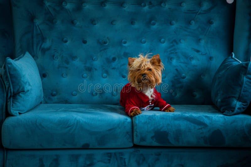 Do Natal azul tiffany do ano novo do animal de estimação do cão da cor de turquesa do sofá da sessão de foto brinquedo vermelho d fotografia de stock